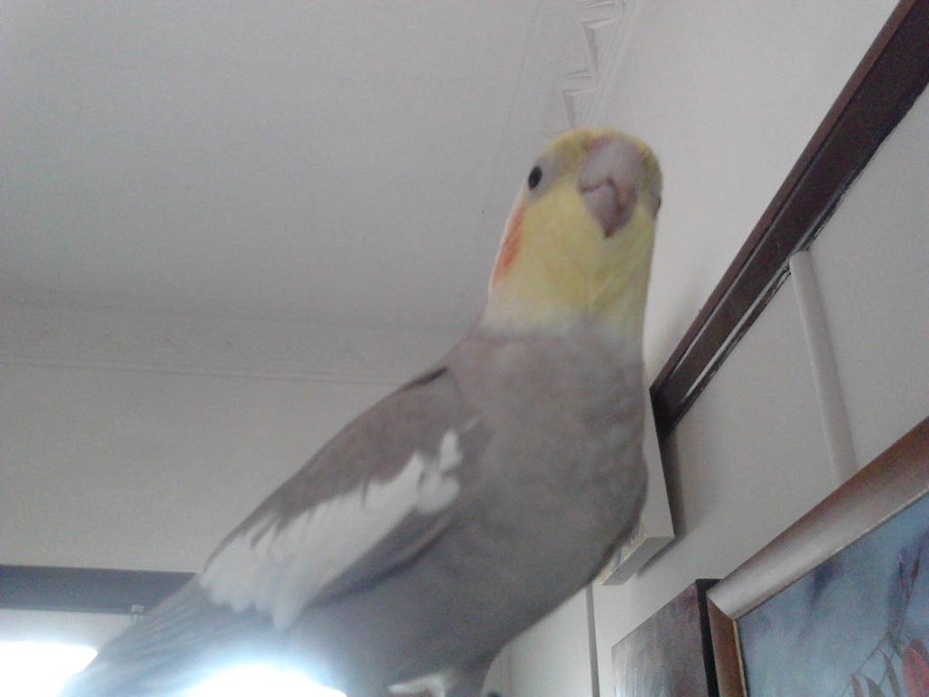 Listening to you, is this cockatiel