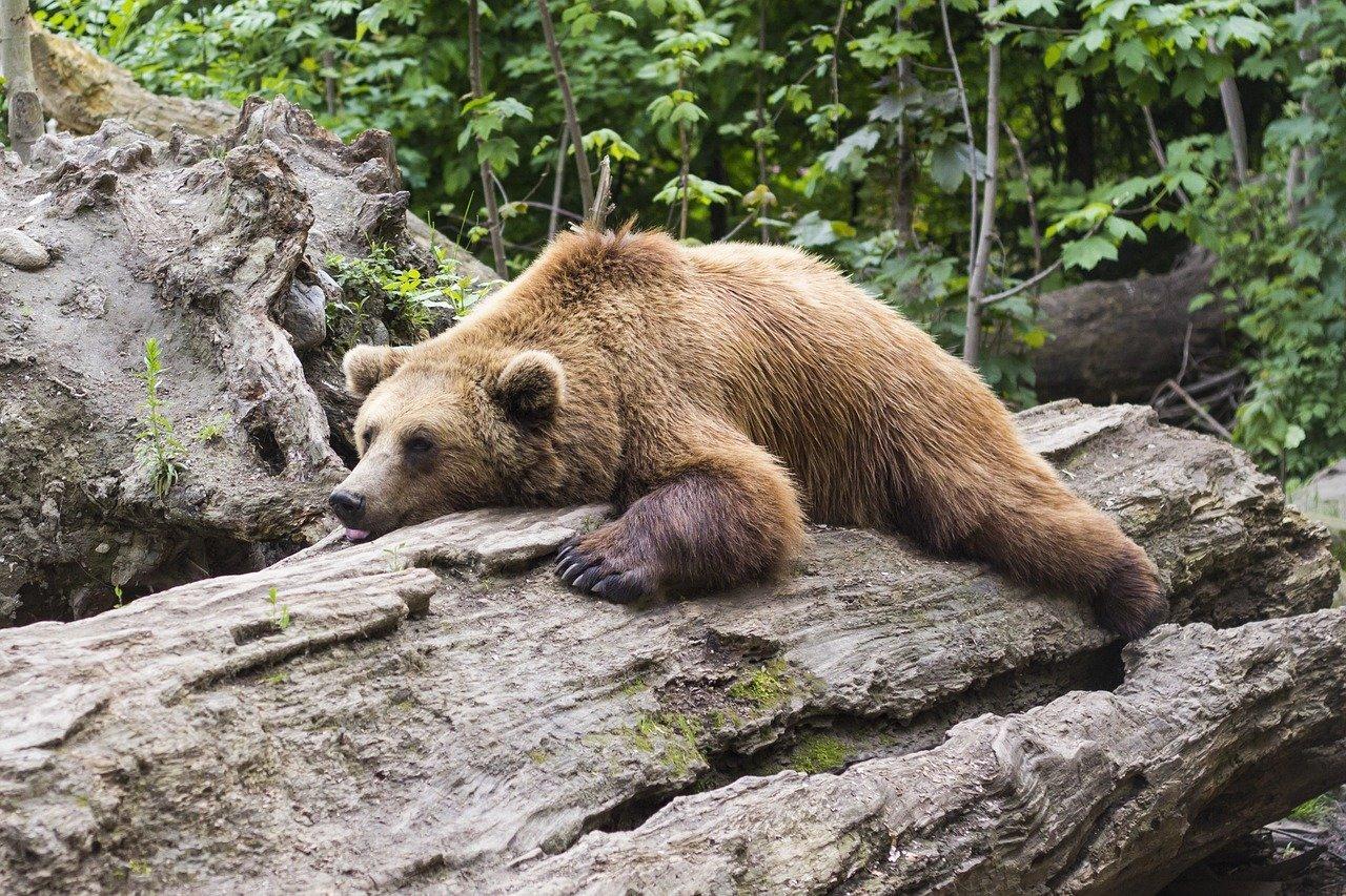 bear, predator, zoo-1383980.jpg